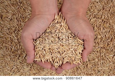 Oat Seeds In Hands