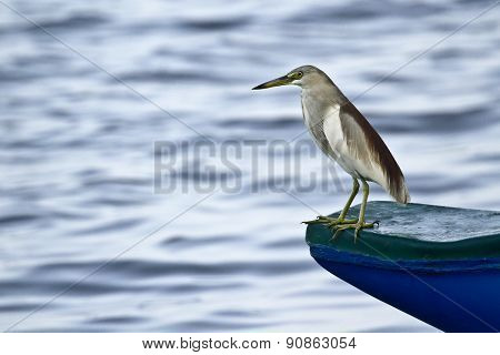 Indian Pond Heron In Batticaloa, Sri Lanka