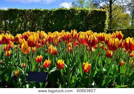 Tulipa Mickey Mouse Flowers In Dutch Spring Garden Keukenhof