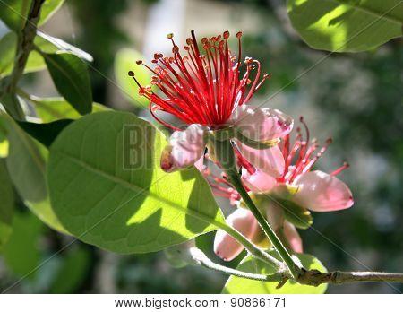 Flowering Feijoa (acca Sellowiana)