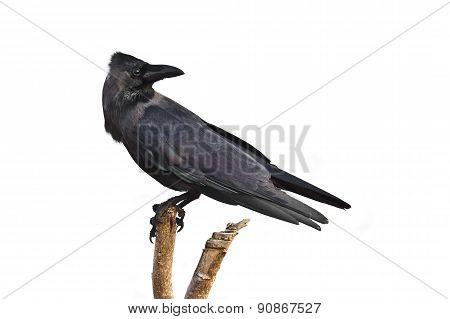 House Crow In Batticaloa, Sri Lanka