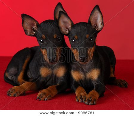 Manchester Terrier Puppies