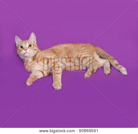 Red Tabby Cat Lying On Lilac