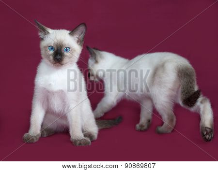 Two Thai White Kitten Sitting On Burgundy