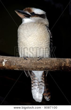 Lesser Grey Shrike Bird