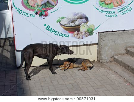 Ukraine, Makeevka - March, 25 ,2015: Two hungry skinny stray dog near the kiosk fast food
