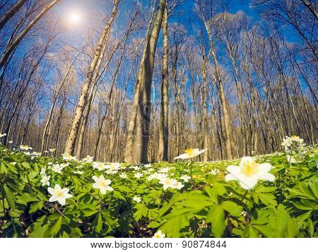 Fantastic forest with fresh flowers in the sunlight. Dramatic unusual scenery. Springtime is the moment for snowdrop anemone. Europe. Beauty world. Soft filter effect.