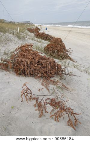 Christmas Trees Line Sand Dunes To Prevent Erosion
