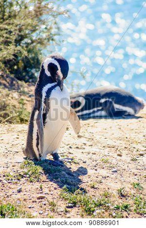 Magellanic Penguin, Valdes