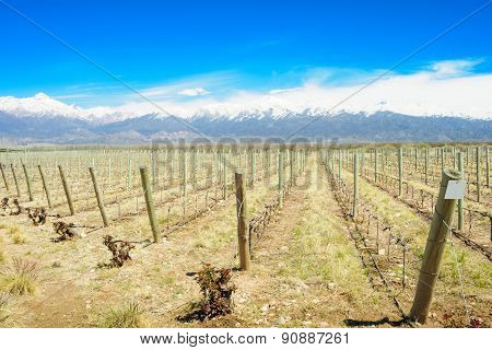 Vineyard, Uco Valley