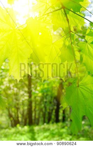 Maple leaves on spring floral background