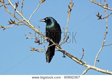 Raven resting on a tree branch with blue sky in background
