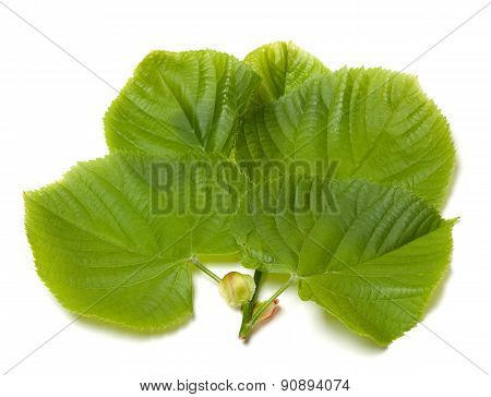 Green Linden-tree Leafs