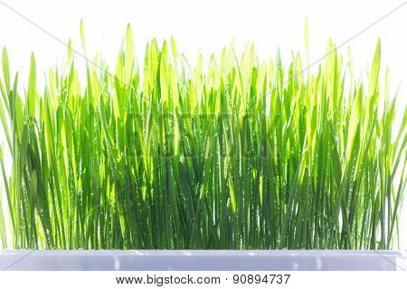 Young green wheat grass sprouts with water drops on the sun