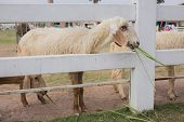 pic of eat grass  - sheep in the farm is eating grass - JPG