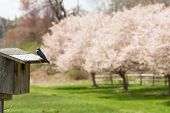 foto of swallow  - Small tree swallow perched on the top of a nest box and cherry trees blossoming in background.