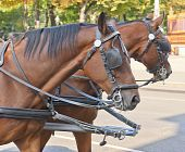 picture of blinders  - Two beautiful horses chained to a carriage - JPG