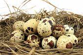 image of quail egg  - Straw egg quail eggs on a white background - JPG