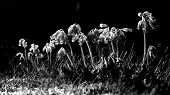 pic of cowslip  - Black and white Cowslip flowers standing in a line with drooping flowers - JPG