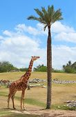 image of african animals  - Giraffe and African animals in the wild - JPG