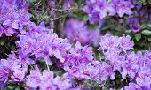 stock photo of may-flower  - Purple rhododendron flowers closeup with pistils and petals - JPG