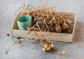 stock photo of ayam  - Narcissus bulbs after flowering on a wooden tray - JPG