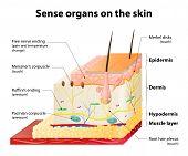 stock photo of senses  - Sense organs on the skin - JPG