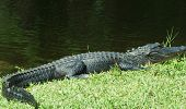 pic of alligators  - Full grown adult alligator on the bank of the river in Everglades National Park  - JPG