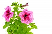foto of petunia  - Beautiful pink petunia close up on white background - JPG
