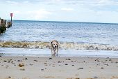 foto of staffordshire-terrier  - Adorable old Staffordshire Bull Terrier having fun at the beach - JPG