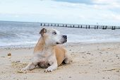 stock photo of staffordshire-terrier  - Adorable old Staffordshire Bull Terrier having fun at the beach - JPG