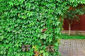 stock photo of ivy vine  - Ornamental Wall From Wild Grape Vine On The Backyard - JPG