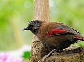 pic of babbler  - A Red - JPG