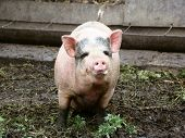 foto of pig-breeding  - pig behind the fence looking for food view from the swine farm - JPG