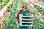 picture of orchard  - Farmer man harvesting onions in Mediterranean orchard field - JPG
