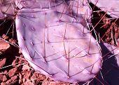 pic of prickly-pear  - Purple prickly pear cactus in Sedona Arizona  - JPG