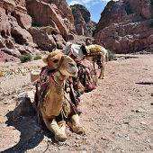 foto of donkey  - Camel and donkey in Petra lost city in Jordan - JPG