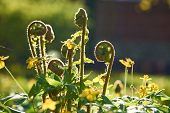pic of fern  - Young fern plants with back sunlight - JPG