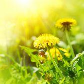 stock photo of dandelion  - Dandelion flowers growing on spring field - JPG