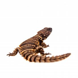 picture of girdles  - The armadillo girdled lizard - JPG