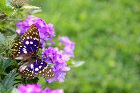 foto of heliotrope  - A Blue Japenese Emperor butterfly is sitting on a purple Heliotrope Flower framing the corner of a green grass background for copy - JPG