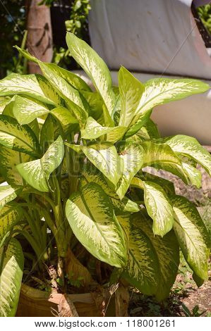 green Dieffenbachia tree