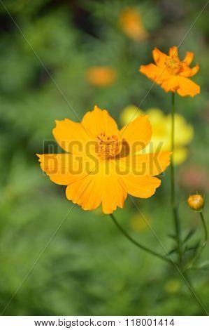 yellow cosmos flower in nature garden