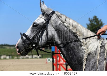 Side View Portrait Of Grey Jumping Horse With Nice Braided Mane During Training