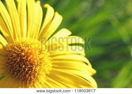 Beautiful fresh yellow flower heads,over green natural background