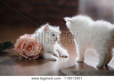 Ragdoll Blue Point Two Little Kittens