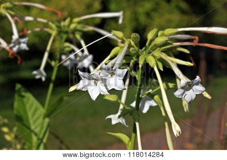 Woodland Tobacco (nicotiana Sylvestris)
