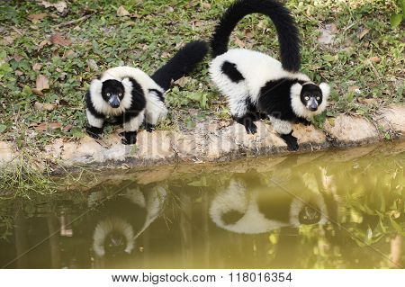 Two Black And White Ruffed Lemur