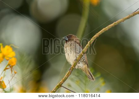Scaly-breasted Munia, Bird
