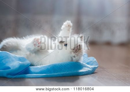 Ragdoll Blue Point Little Kitty